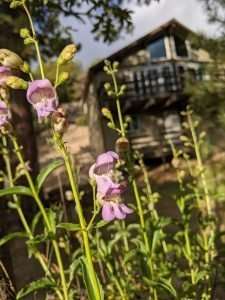 Grinnell's Beardtongue Flower